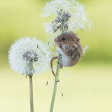 Harvest mouse eating dandelions