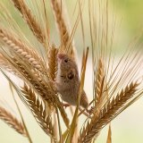 Harvest mouse exploring barley
