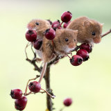 Harvest mouse group