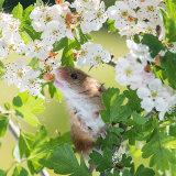 Harvest mouse in hawthorn flowers