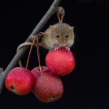 Harvest mouse on apple