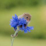 Harvest mouse on cornflower