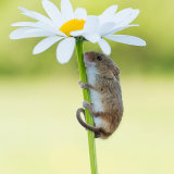 Harvest mouse on oxeye daisy