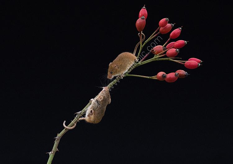 Harvet mice on hip