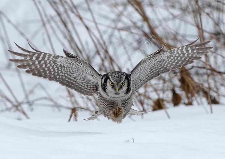 Hawk Owl hunting