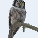 Hawk owl in tree