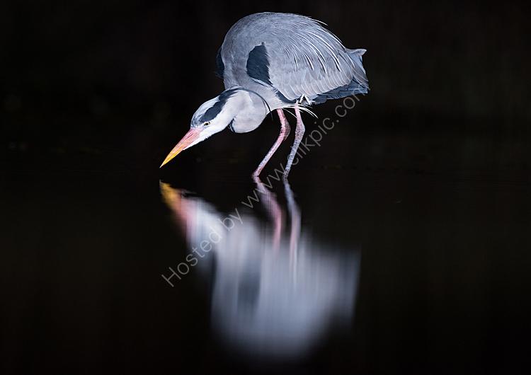 Heron fishing at night