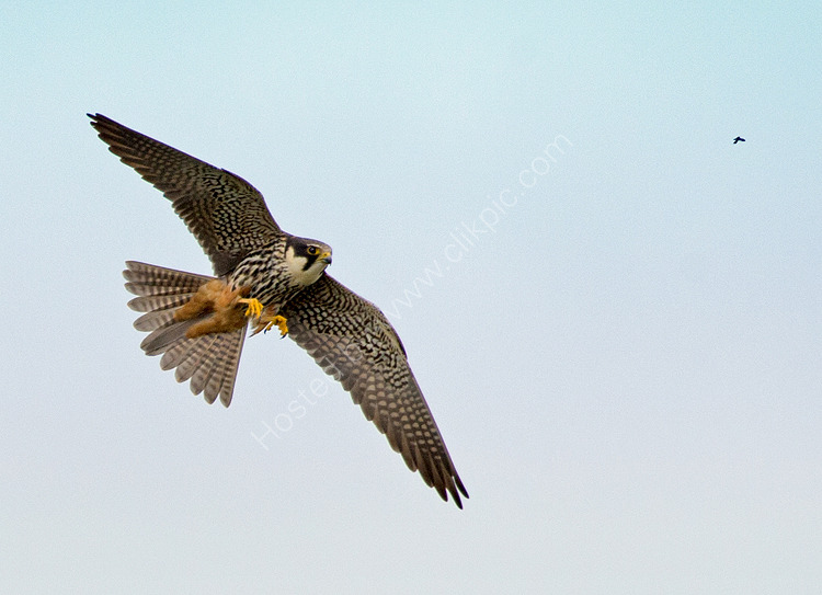Hobby and dragonfly