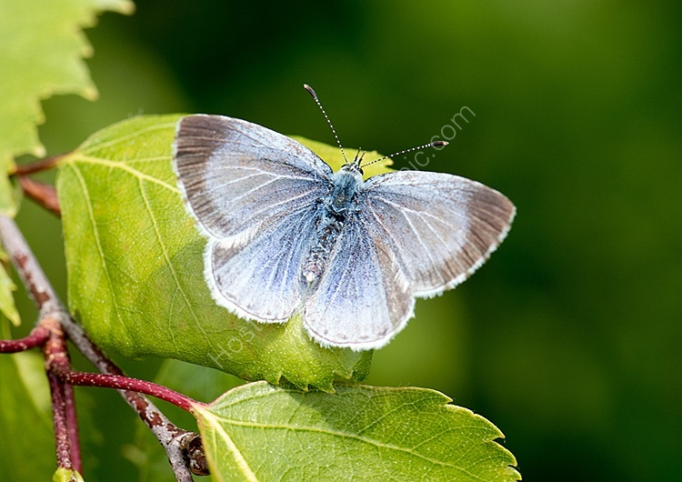 Holly blue female open