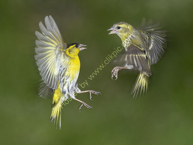 Image of-the month for June siskins fighting