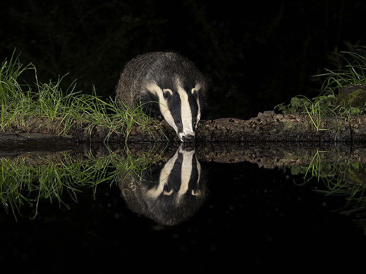 Image of the month for August badger drinking