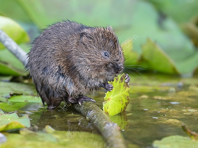 Image of the month for August water vole eating