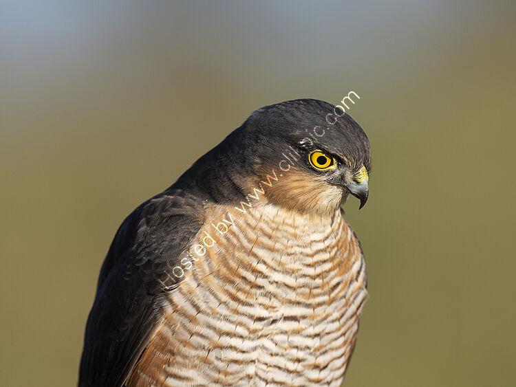 Close-up sparrowhawk