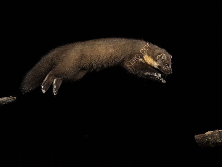 Image of the month for February Pine martin jumping