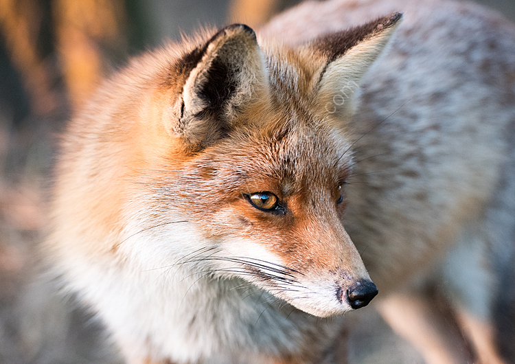 Image of the month for February red fox