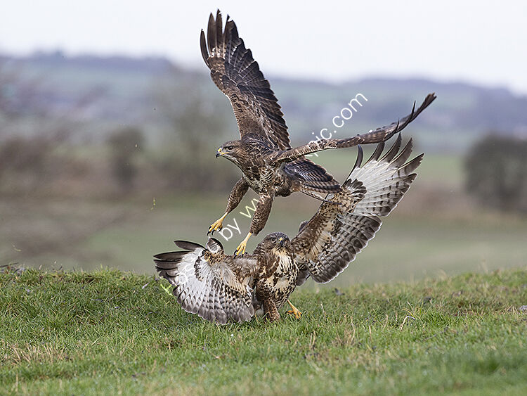 Image of the month for January buzzards fighting