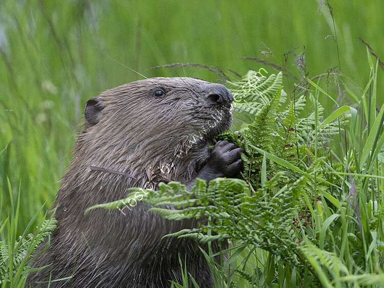 Image of the month for July European Beaver