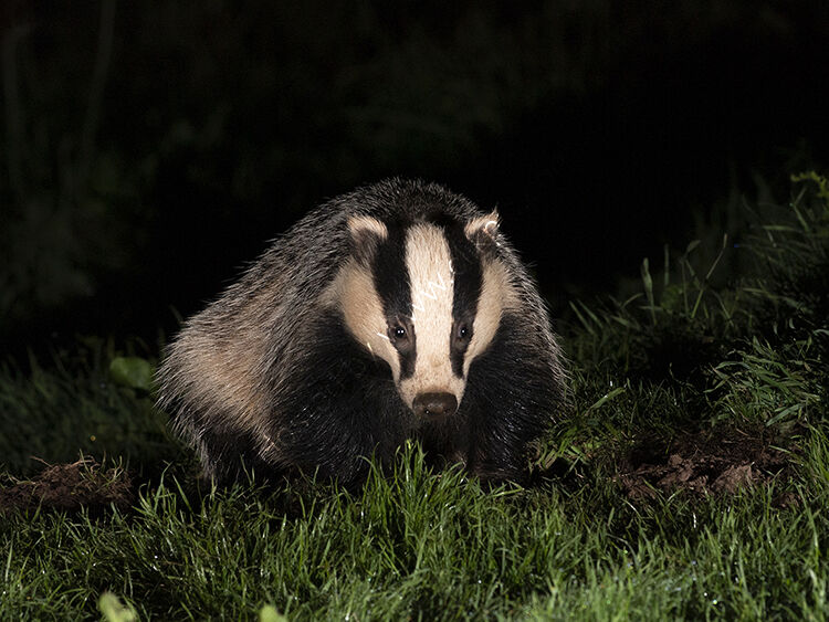 Image of the month for July badger digging
