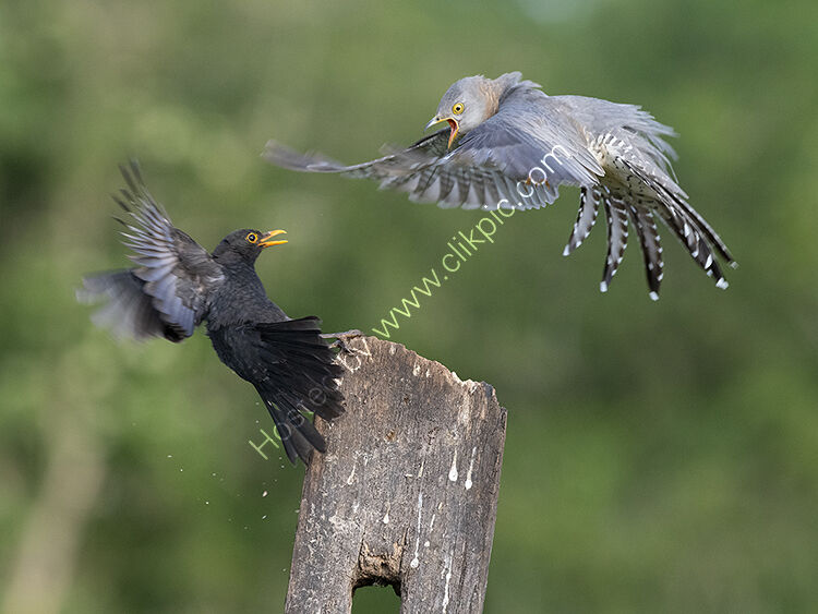 Image of the month for July female cuckoo and blackbird