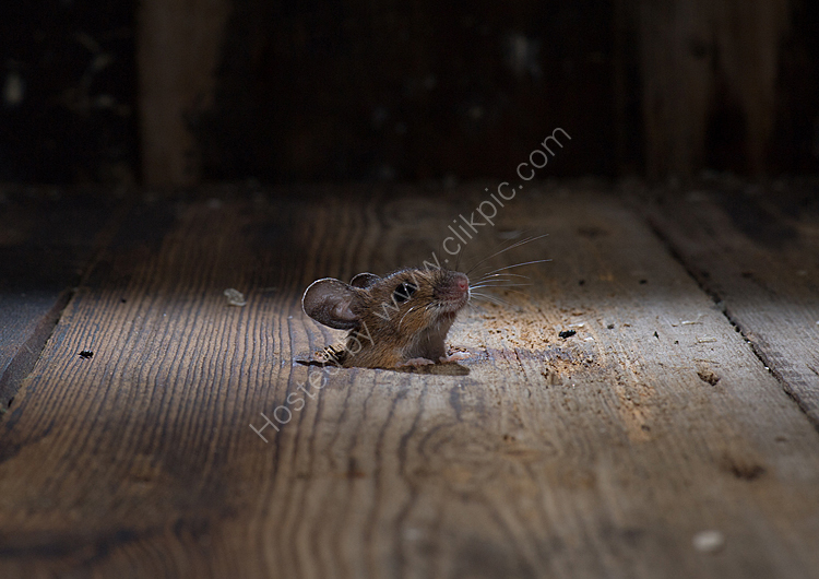 Image of the month for June nosey woodmouse