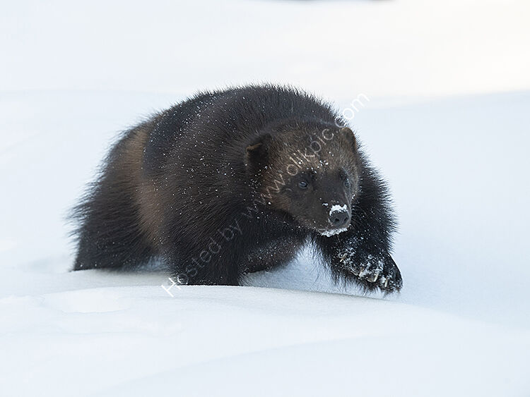 Image of the month for March male wolverine in deep snow