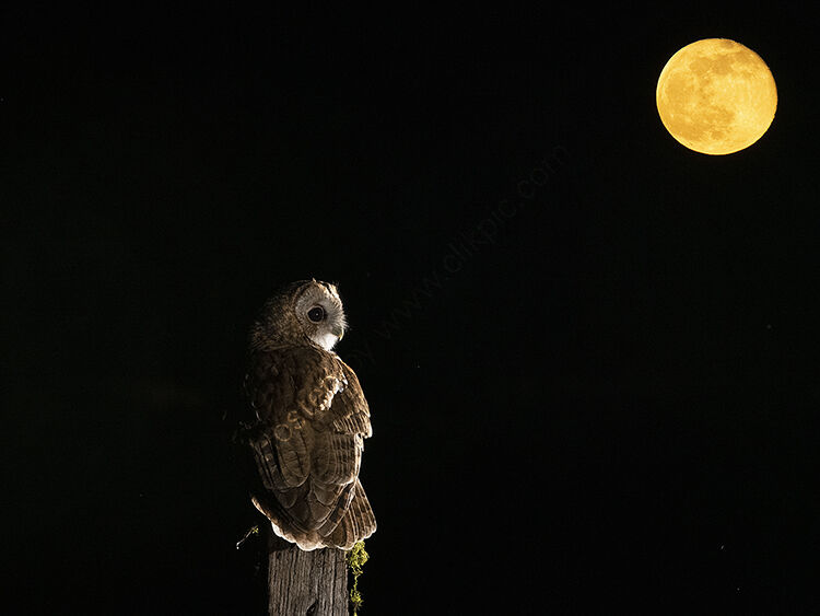 Image of the month for March tawny owl and full moon