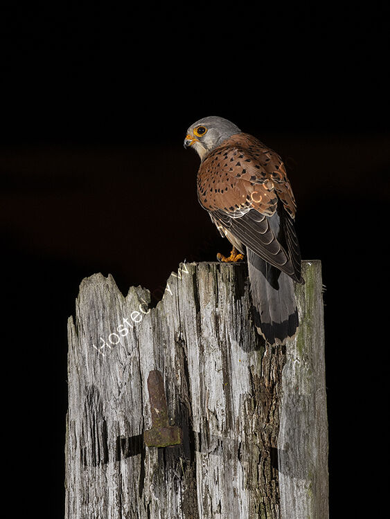 Image of the month for May kestrel at night
