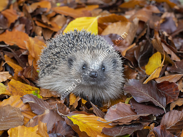 Image of the month for November hedgehog in autumn leaves