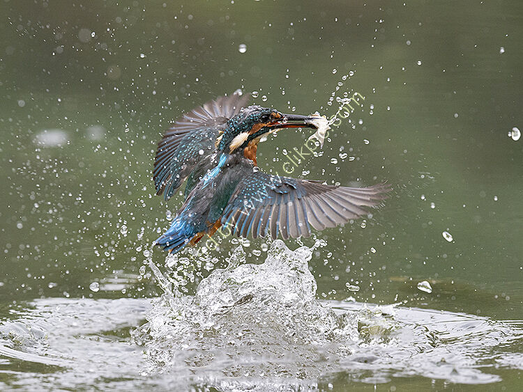 Image of the month for September kingfisher leaving the water