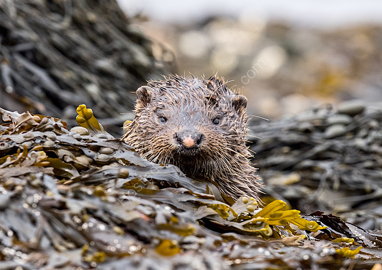 Image of the month for april otter in seaweed