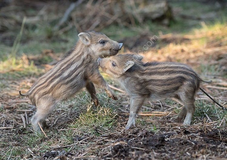 Image of the month for march wild boar piglets playing