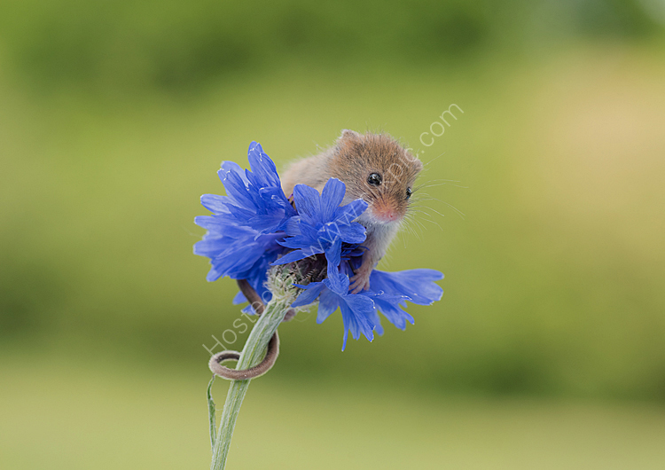 Image of the month for may harvest mouse on cornflower