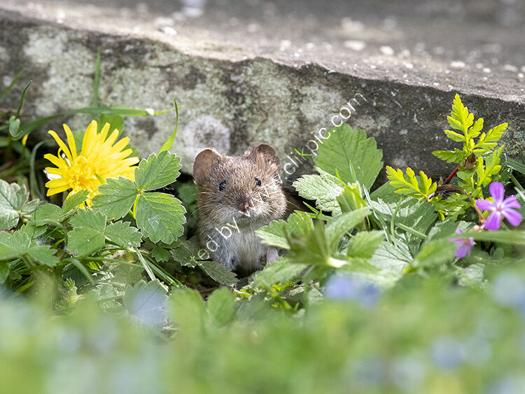 Image of ther month for April bank vole in spring flowers