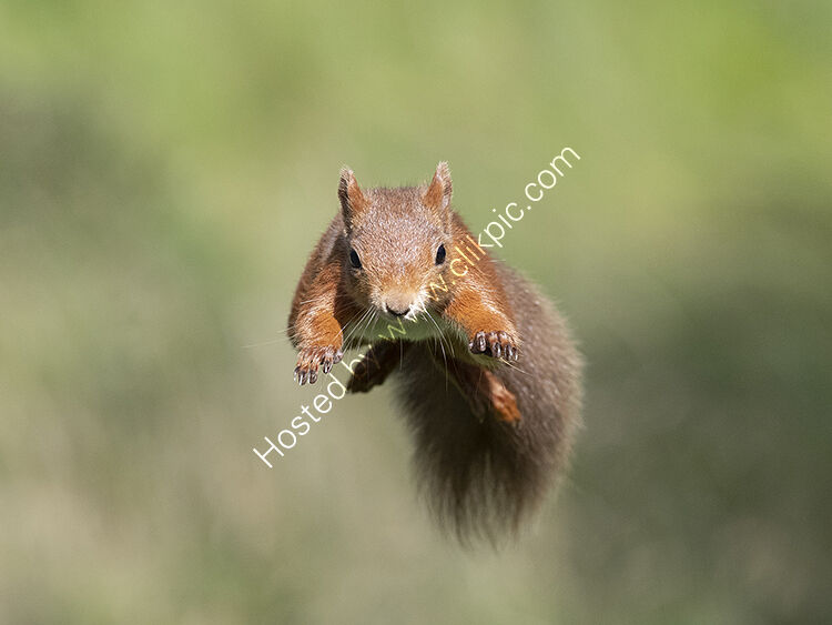 Jumping squirrel2