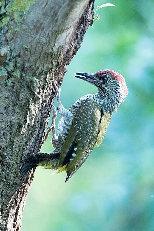 Just fledged greenwood pecker