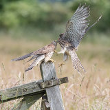 Kestrel feeding young