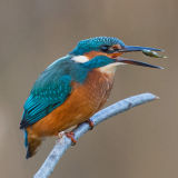 Kingfisher feeding