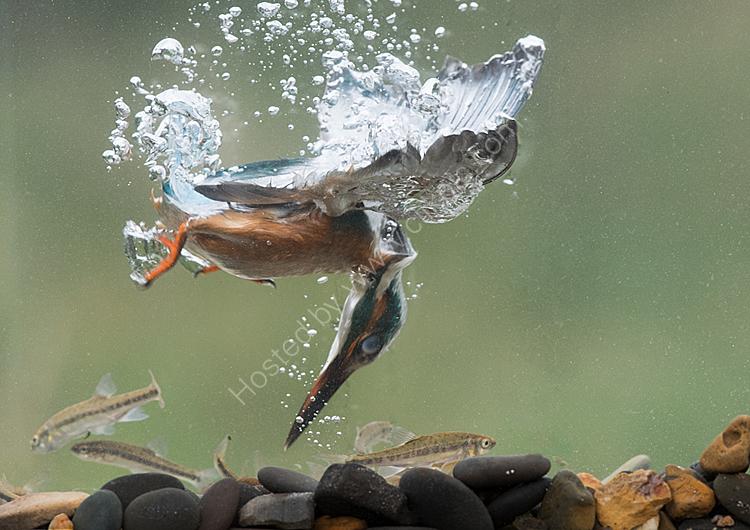 Kingfisher underwater