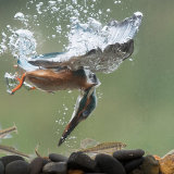 Kingfisher underwater