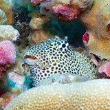 Leopard blennie