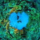 Lettuce Hard Coral