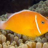 Lions mane anaenome fish