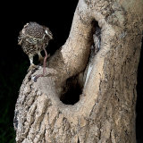 Little owl at nest hole