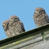Little owl chicks
