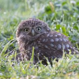 Little owl in grass