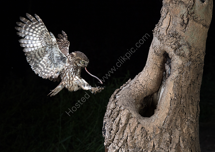 Little owl landing with prey