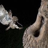 Little owl landing with prey
