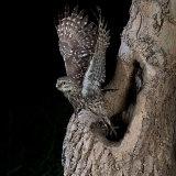 Little owl leaving nest hole