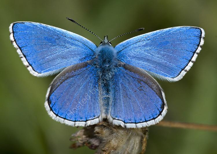 Male Adonis blue
