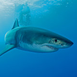Male Great white